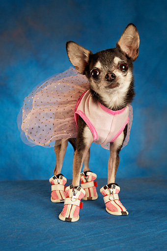DOG 05 MQ0071 01 © Kimball Stock Humorous Black And White Chihuahua Wearing Pink Tutu And Shoes On Blue Background