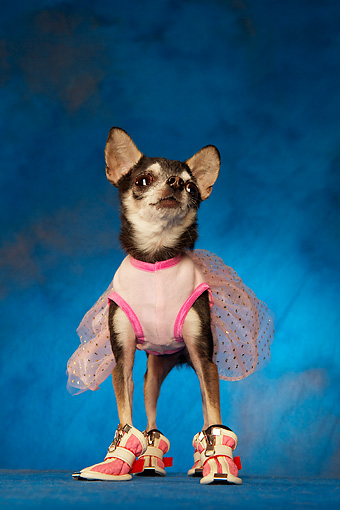 DOG 05 MQ0072 01 © Kimball Stock Humorous Black And White Chihuahua Wearing Pink Tutu And Shoes On Blue Background