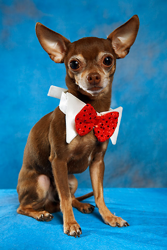 DOG 05 MQ0074 01 © Kimball Stock Humorous Brown And White Chihuahua Wearing Red Bow Tie On Blue Background