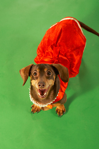 DOG 05 MQ0076 01 © Kimball Stock Humorous Overhead Shot Of Brown Dachshund Wearing Red Dress On Green Background