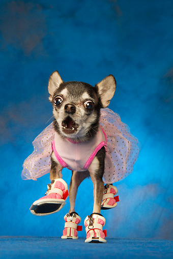 DOG 05 MQ0077 01 © Kimball Stock Humorous Black And White Chihuahua Wearing Pink Tutu And Shoes On Blue Background