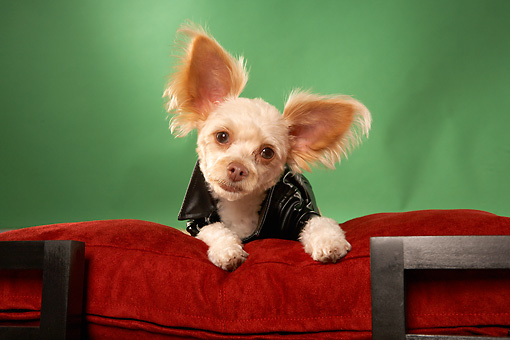 DOG 05 MQ0078 01 © Kimball Stock Humorous Tan Chihuahua Wearing Black Leather Jacket On Red Couch