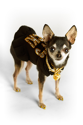 DOG 05 MQ0079 01 © Kimball Stock Humorous Black And White Chihuahua Wearing Black Shirt And Gold Chains On White Background