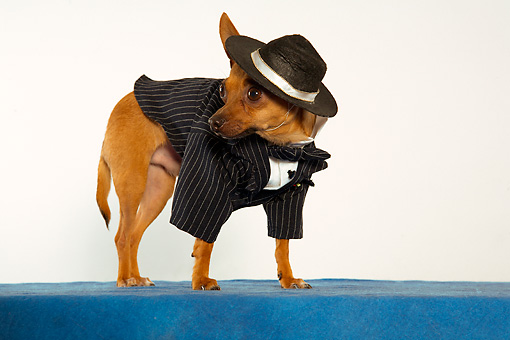 DOG 05 MQ0082 01 © Kimball Stock Humorous Brown Chihuahua Wearing Pinstripe Suit, Bow Tie And Beret On Blue Carpet