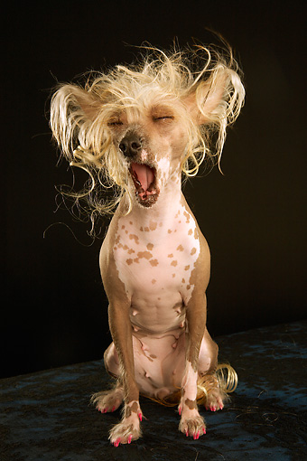 DOG 05 MQ0084 01 © Kimball Stock Portrait Of Chinese Crested Dog Yawning Facing Camera Dark Background