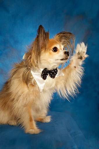 DOG 05 MQ0090 01 © Kimball Stock Long-haired Chihuahua Wearing Bow Tie Waving On Blue Background