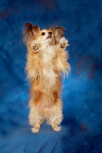 DOG 05 MQ0091 01 © Kimball Stock Long-haired Chihuahua Standing On Hind Legs Blue Background