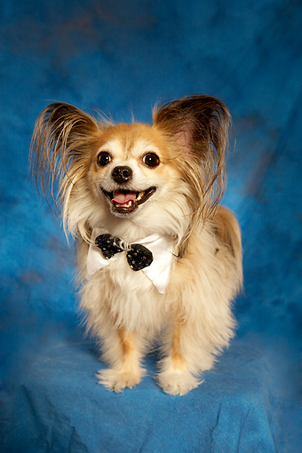 DOG 05 MQ0092 01 © Kimball Stock Long-haired Chihuahua Wearing Bow Tie Standing On Blue Background