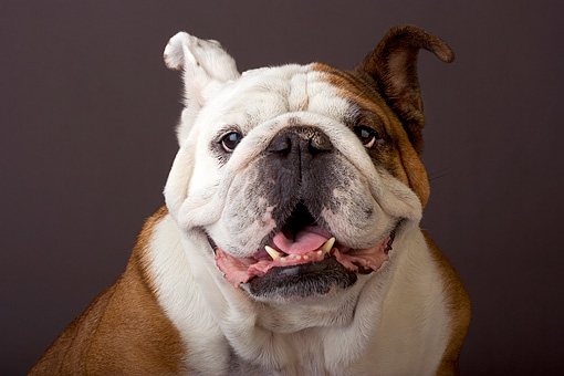 DOG 05 MR0001 01 © Kimball Stock Portrait Head Shot Of Bulldog Studio