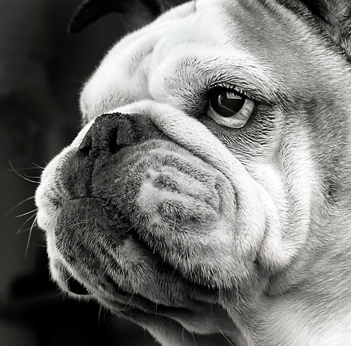 DOG 05 MR0010 01 © Kimball Stock Head Shot Of Bulldog