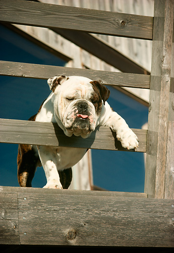 DOG 05 RC0006 01 © Kimball Stock English Bulldog Standing On Wooden Deck Sticking Head And Paw Through Railing