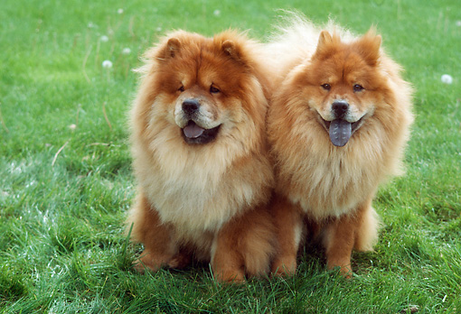 DOG 05 RC0011 01 © Kimball Stock Portrait Of Two Chow Chows Sitting On Grass