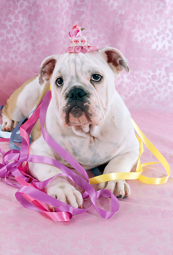 DOG 05 RC0015 01 © Kimball Stock Humorous English Bulldog Wearing Party Hat With Ribbons