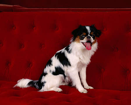 DOG 05 RK0001 01 © Kimball Stock Japanese Chin Sitting On Red Couch