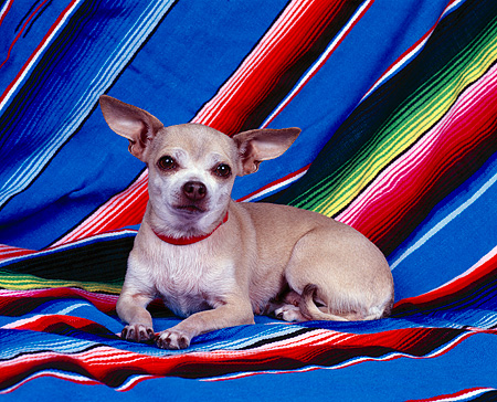 DOG 05 RK0020 11 © Kimball Stock Chihuahua With Collar Laying On Mexican Blanket Facing Camera
