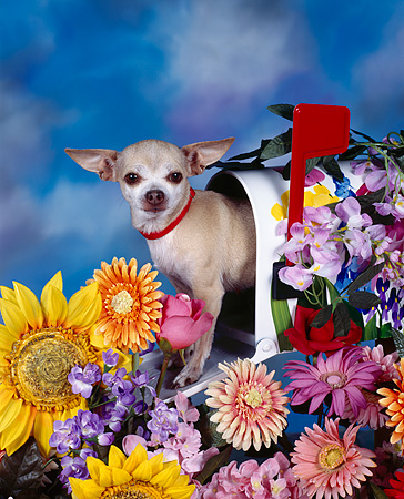 DOG 05 RK0022 06 © Kimball Stock Chihuahua Sitting In Mailbox By Flowers