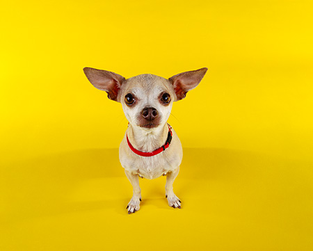 DOG 05 RK0027 07 © Kimball Stock Chihuahua Standing On Yellow Seamless Facing Camera