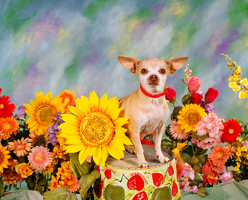 DOG 05 RK0037 07 © Kimball Stock Chihuahua Standing On Pail By Flowers Studio