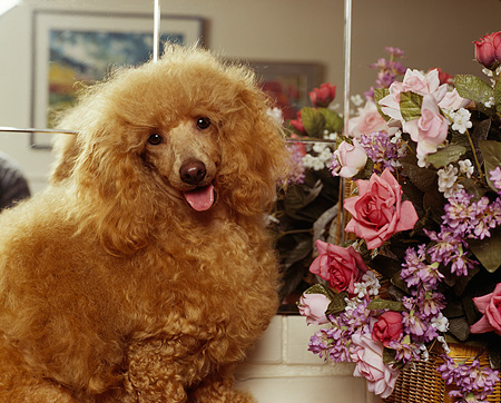 DOG 05 RK0049 15 © Kimball Stock Poodle Sitting On Wooden Table By Flowers And Mirror