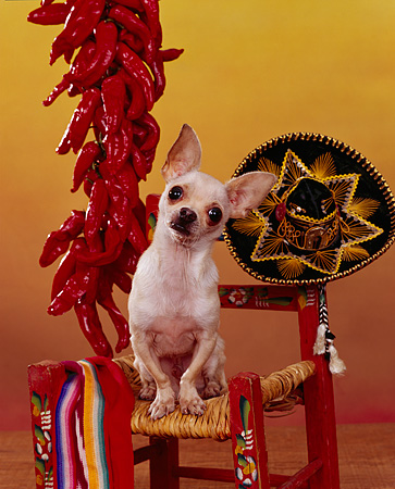 DOG 05 RK0076 07 © Kimball Stock Chihuahua Standing On Chair By Red Peppers And Sombrero Yellow Background