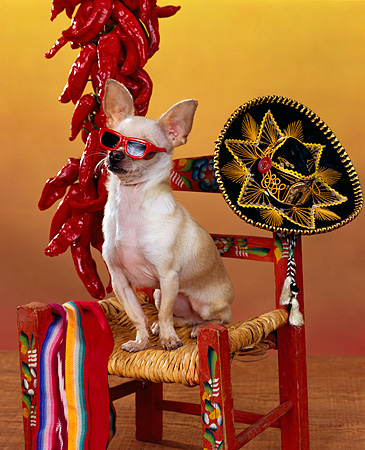 DOG 05 RK0077 06 © Kimball Stock Humorous Shot Of Chihuahua Sitting On Chair Wearing Sunglasses By Red Peppers And Sombrero