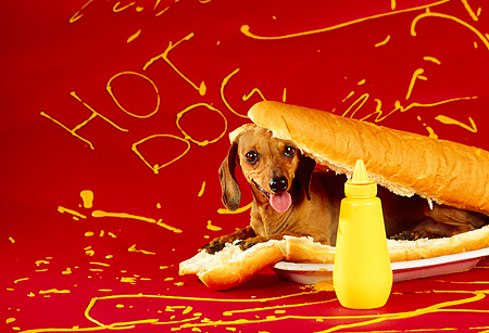 DOG 05 RK0083 02 © Kimball Stock Humorous Shot Of Dachshund Laying On Hot Dog Bun By Mustard Bottle Red Background Mustard
