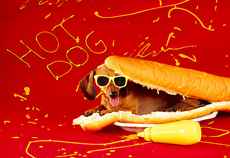 DOG 05 RK0084 05 © Kimball Stock Humorous Shot Of Dachshund Laying Inside Hot Dog Bun Wearing Sunglasses Mustard Red Background