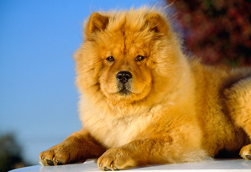 DOG 05 RK0131 02 © Kimball Stock Close-Up Of Chow Chow Laying Blue Sky
