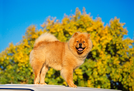 DOG 05 RK0134 03 © Kimball Stock Profile Shot Of Chow Chow Standing On Top Of Car