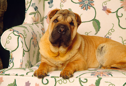 DOG 05 RK0148 05 © Kimball Stock Shar-pei Laying On Floral Chair