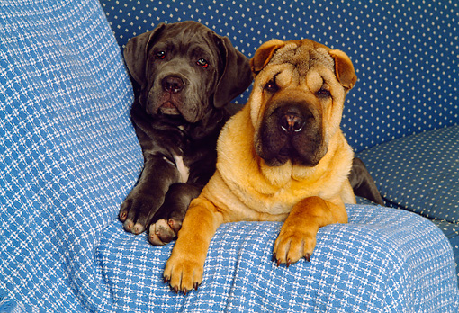 DOG 05 RK0152 11 © Kimball Stock Shar-pei  And Black Puppy On Couch