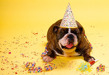 DOG 05 RK0165 14 © Kimball Stock Head Shot Of Bulldog Laying And Facing Camera Wearing Party Hat Yellow Background