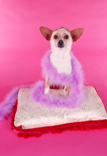 DOG 05 RK0169 01 © Kimball Stock Chihuahua Sitting On Pillow Wearing Crown And Feather Boa On Pink Seamless Studio