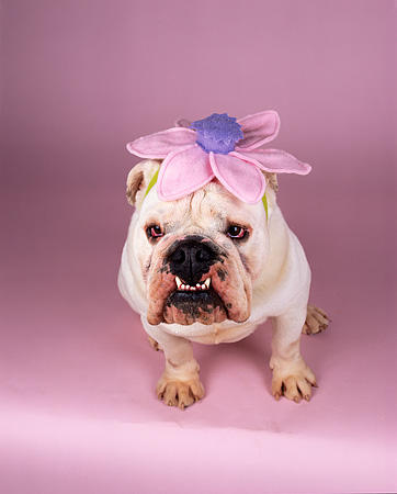 DOG 05 RK0187 04 © Kimball Stock English Bulldog Standing Wearing Pink And Purple Flower On Head Pink Seamless