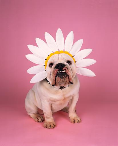 sunflower dog hat