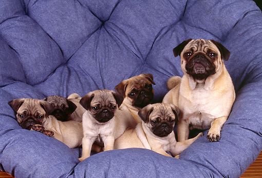 DOG 05 RK0198 11 © Kimball Stock Pug Mother Sitting In Blue Chair With Five Puppies