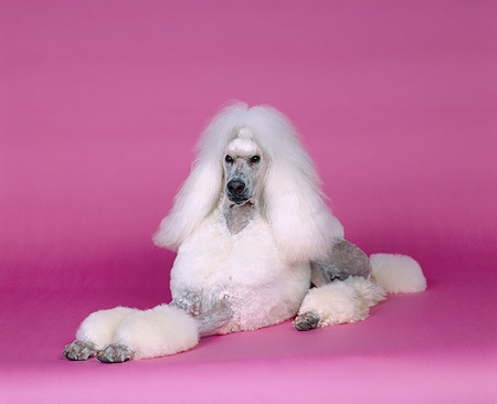 DOG 05 RK0213 07 © Kimball Stock Continental Standard Poodle Laying On Pink Seamless