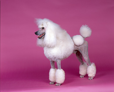 DOG 05 RK0215 02 © Kimball Stock Continental Standard Poodle White Standing On Pink Seamless Background