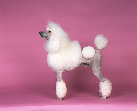DOG 05 RK0216 02 © Kimball Stock Profile Shot Of Continental Standard Poodle On Pink Seamless