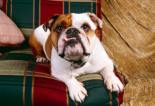 DOG 05 RK0228 04 © Kimball Stock Bulldog Laying On Plaid Couch By Tan Blanket