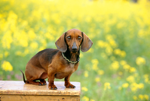 DOG 05 RK0239 08 © Kimball Stock Smooth Dachshund Sitting On Wooden Bench In Yellow Flower Field