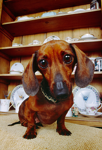 DOG 05 RK0242 08 © Kimball Stock Dachshund Sitting By China Cabinet