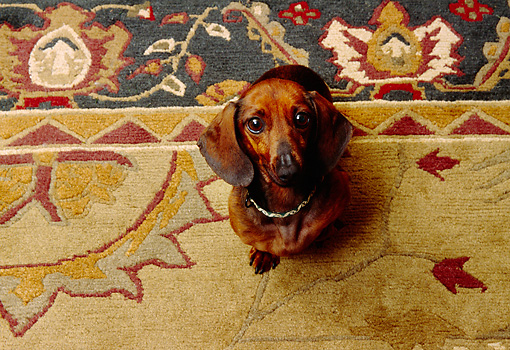 DOG 05 RK0246 01 © Kimball Stock Dachshund Looking Up At Camera Sitting On Oriental Rug