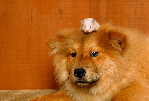 DOG 05 RK0248 06 © Kimball Stock Head Shot Of Chow Chow Dog With Hamster On Head
