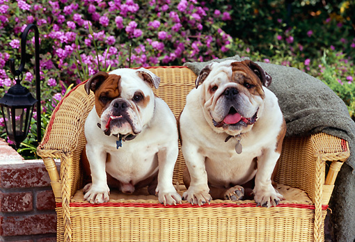 DOG 05 RK0261 01 © Kimball Stock Two Bulldogs Sitting On Wicker Chair By Pink Flowers