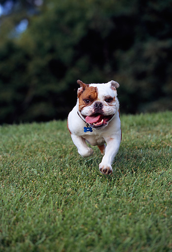 DOG 05 RK0265 01 © Kimball Stock Bulldog Running On Grass Towards Camera