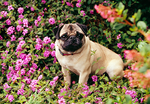 DOG 05 RK0266 02 © Kimball Stock Pug Sitting Among Purple Flowers