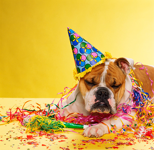 DOG 05 RK0272 02 © Kimball Stock Bulldog Laying By Party Decorations On Yellow Seamless Studio