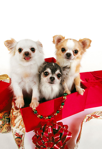 DOG 05 RK0284 10 © Kimball Stock Three Long-haired Chihuahuas Sitting In Christmas Box On White Seamless