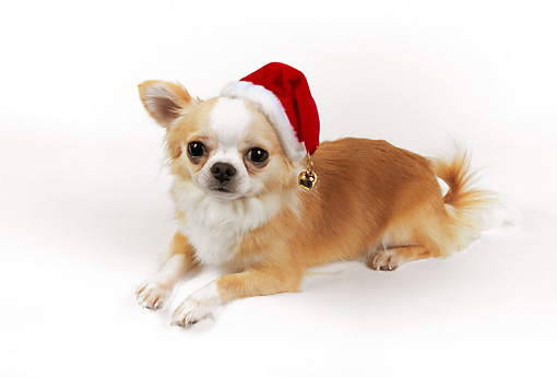 4676fa0bbd9 DOG 05 RK0285 02 © Kimball Stock Gold And White Chihuahua Wearing Santa Hat  On White